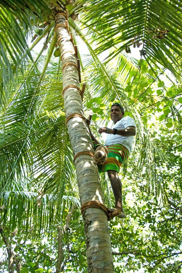 Climbing a coconut tree in the Maldives