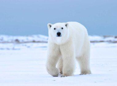 A polar bear in Arctic Manitoba Canada