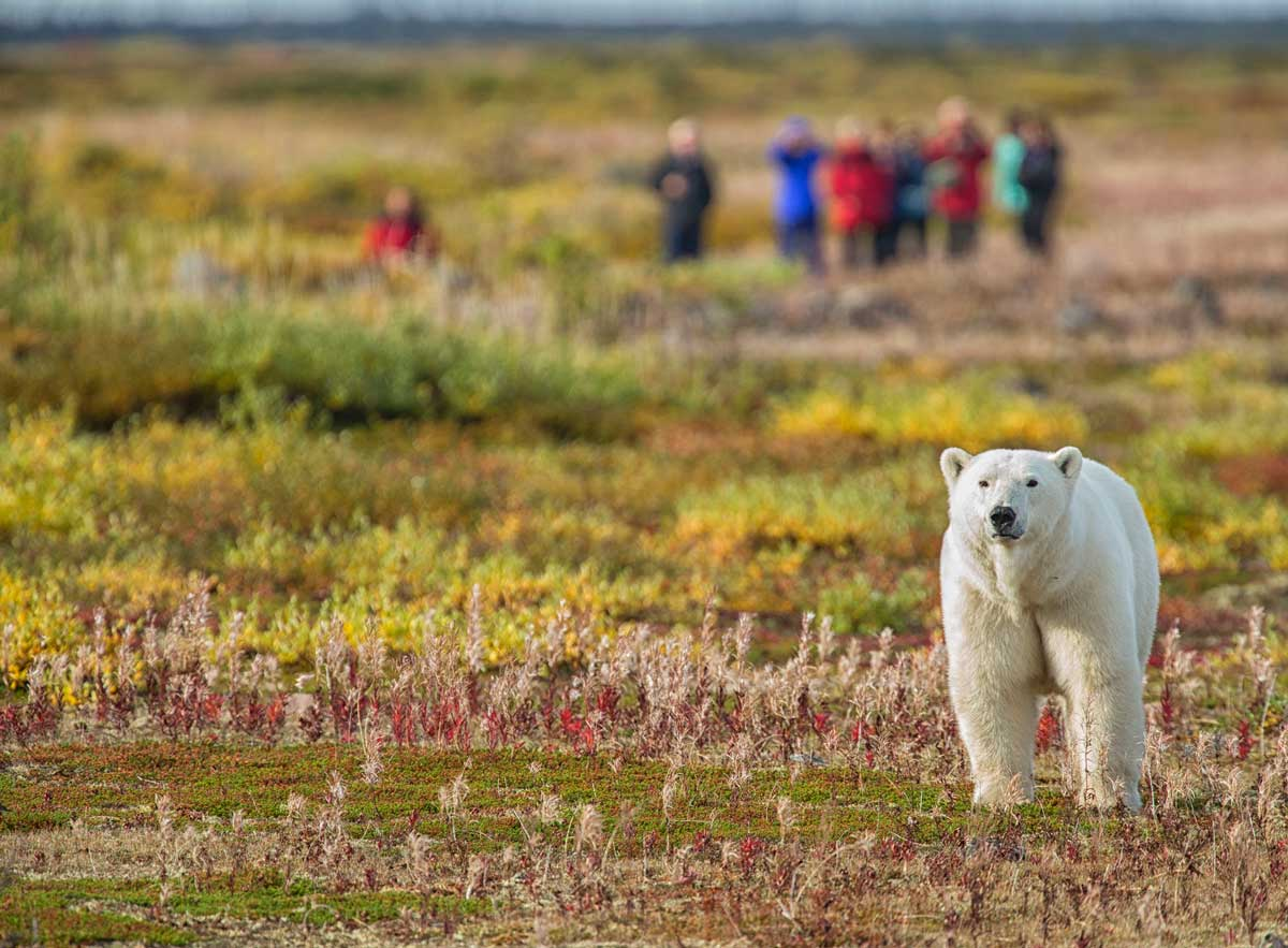 Polar bear safari with Churchill Wild