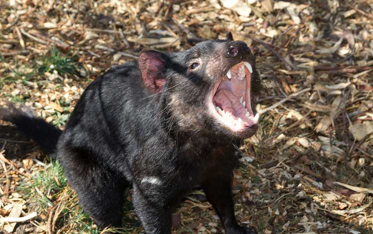 The Tasmanian Devil is a carnivorous marsupial that is now only found in the wild in Tasmania.