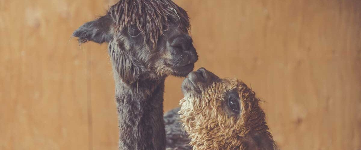 A baby alpaca? Lessons learned from travel
