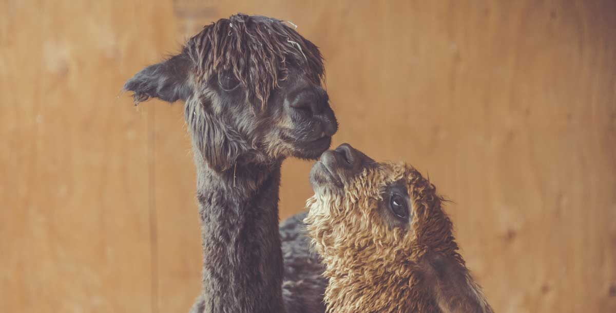 A Baby Alpaca in the Kitchen? 7 Travel Lessons I Learned the Hard Way