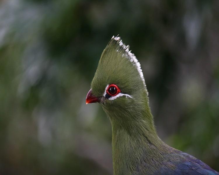 A Beautiful Bird in Knysna Lourie
