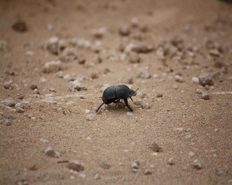 Dung beetles marching beside the road