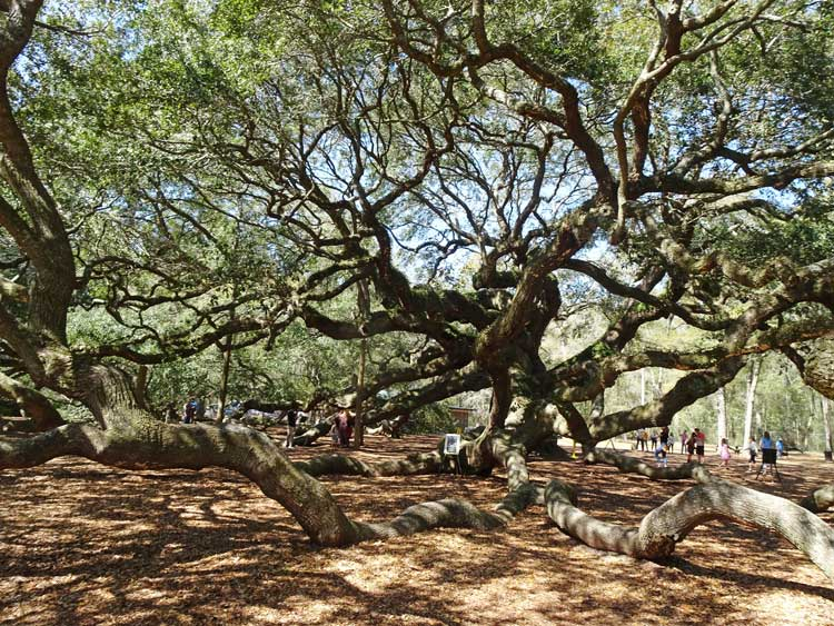 The Angel Oak Tree in Charleston, South Carolina