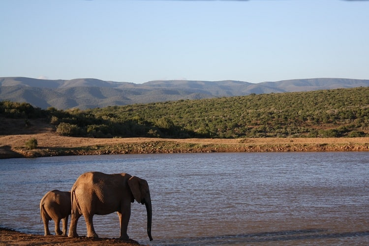 Elephants are drinking water