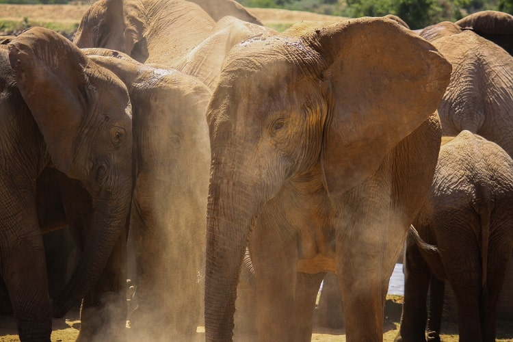 Elephants are playing in Dust