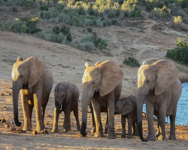 Young Elephants With Mothers in Africa