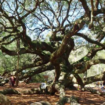 A historic tree which has thrived in Charleston, South Carolina for decades.