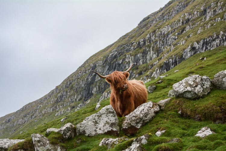 The bold and shaggy Highland cow finds a path down the mountain.
