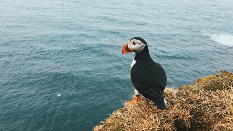 A puffin rests while overlooking the ocean near Látrebjarg.