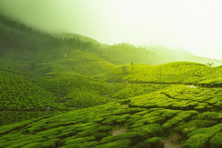 The rolling tea gardens under the fog of Darjeeling.