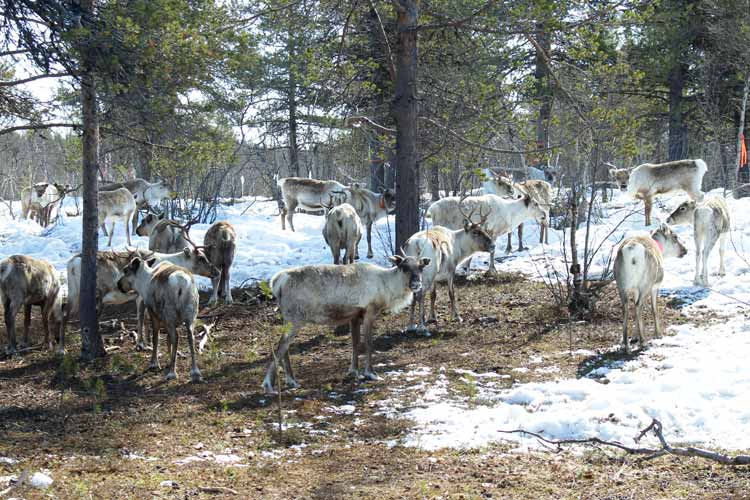 Arctic reindeer wander through the snow in a Swedish forrest.