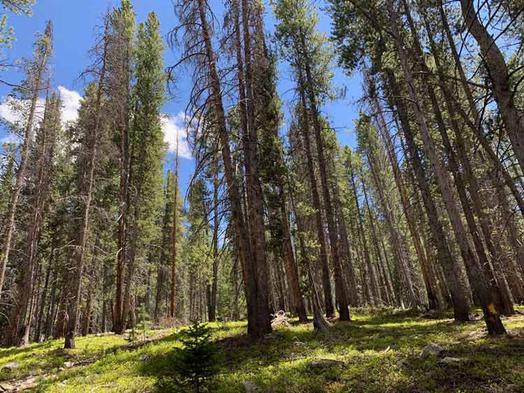 Towering trees line the hiking trails throughout the Breckenridge mountain area.