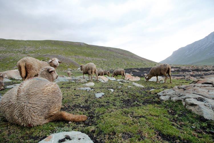 Sheep grazing in the vicinity of Vishansar Lake in Kashmir.
