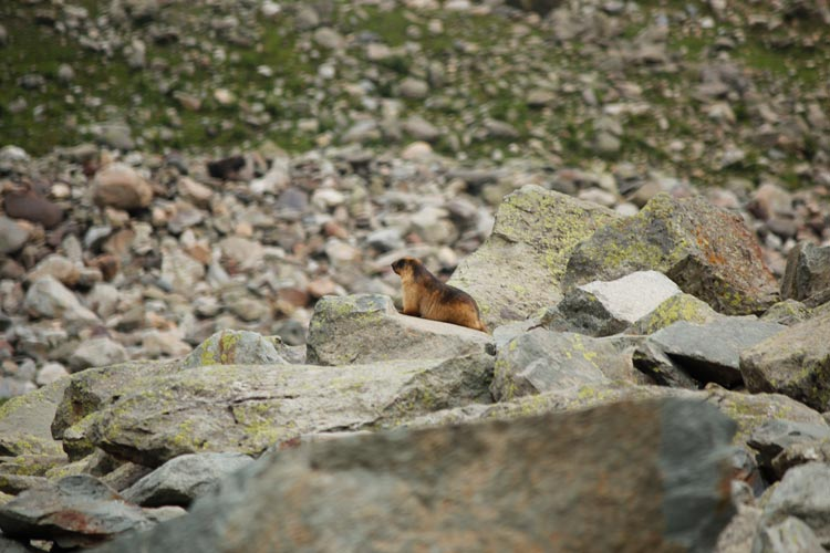 A marmot basking in the sun in Gadsar valley. These ground mammals are abundant in the entire Himalayan region on high altitudes.