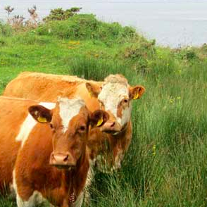 Some orange cows enjoying the grass in Westport, Ireland.