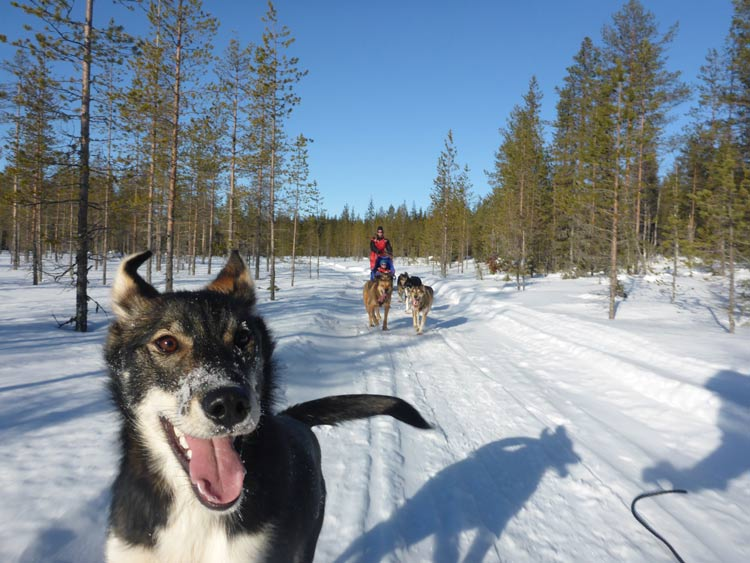 An excited group ready for a day of dogsledding through the Swedish wilderness.