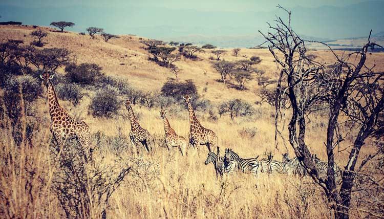 Spotting giraffes and zebras on the game walk.