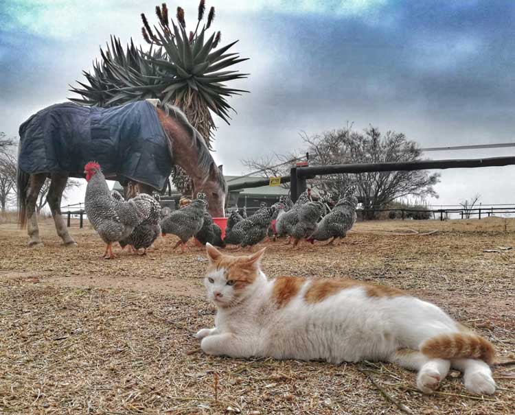 Tonic the cat, Potch Koekoeks (or chickens) and horse make friends.