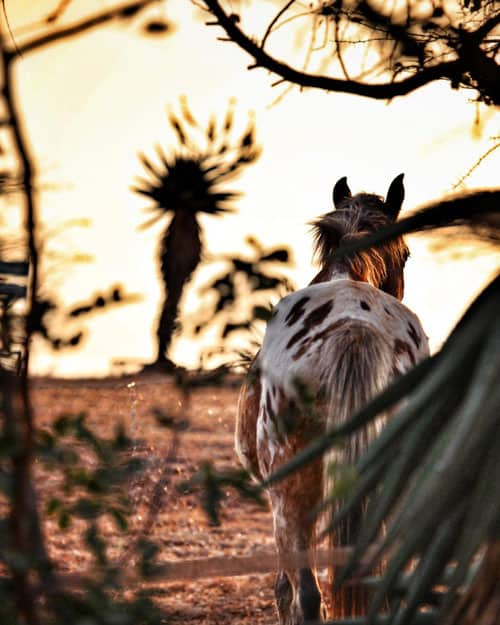A horse wandering by the aloe leaves.