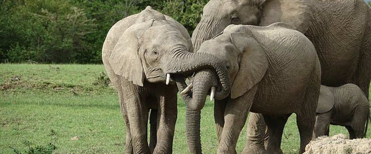 Elephant family playing in Kenya, Africa.