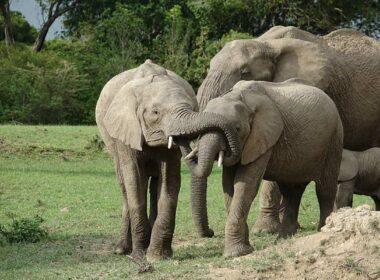 Elephant family playing in Kenya, Africa.