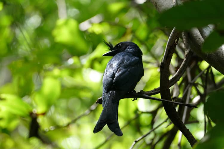 A crested drongo