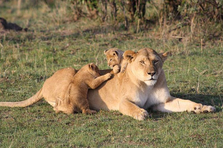 A lioness with her cubs in the Mara.