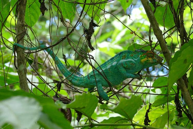 Another view of the male panther chameleon using his tail.