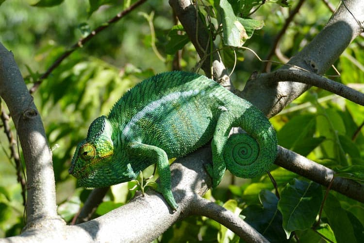 Close view of an adult male panther chameleon on Nosy Be in Madagascar. Photo by Adrian Rorvik