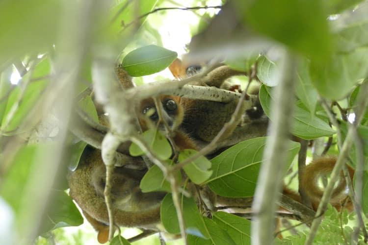 Tiny mouse lemur look back in Lokobe, Nosy Be.