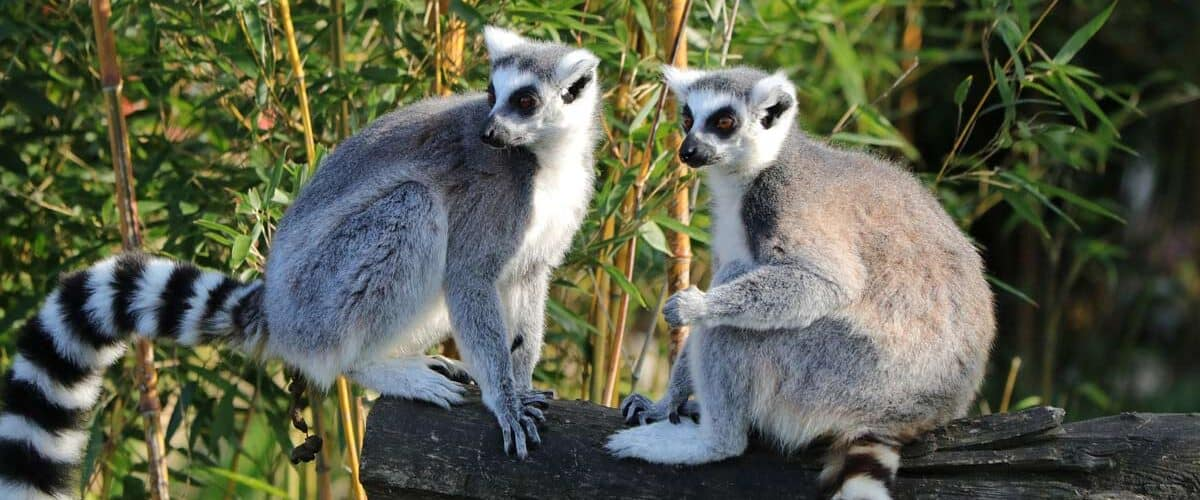 Playing with lemurs on the island of Nosy Be in Madagascar.