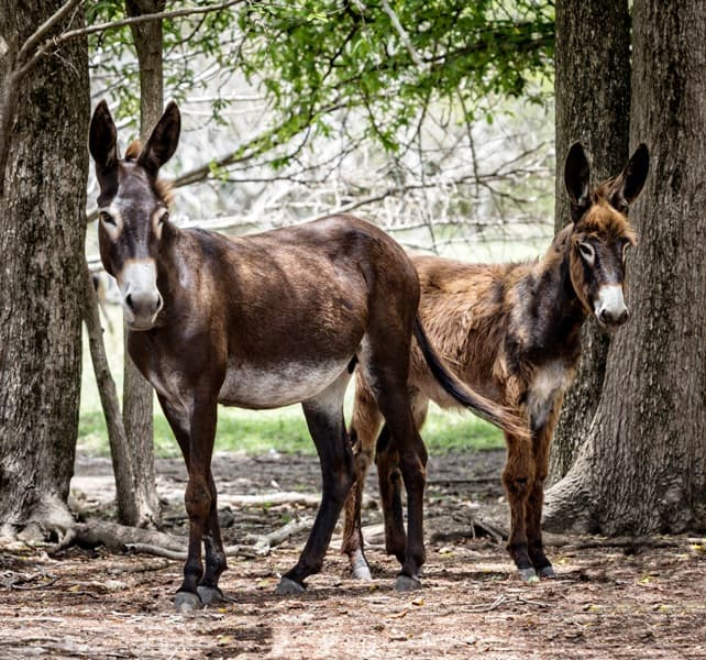 Donkeys are another delightful addition to Nevis's many native animals. Photo by Fyllis Hockman
