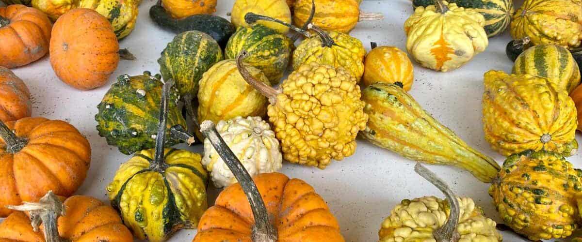 Gourds at Staten Island farm.
