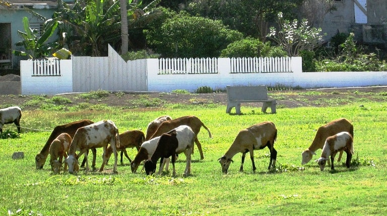 Herds of sheep are among the many animals roaming around Nevis. Photo by Fyllis Hockman
