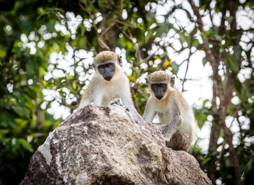 There are more monkeys than people on the Caribbean island of Nevis. Photo by Paul Shoul