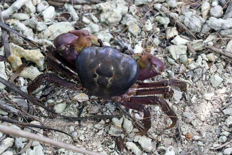 A land crab on Yap.