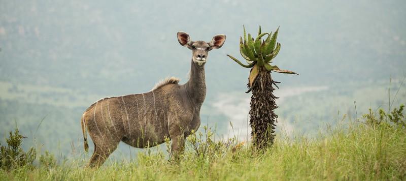 Babanango Game Reserve, female Kudu. Rewilding, conservation