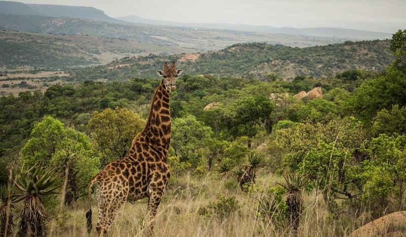 Babanango Game Reserve: Giraffe standing tall. Conservation