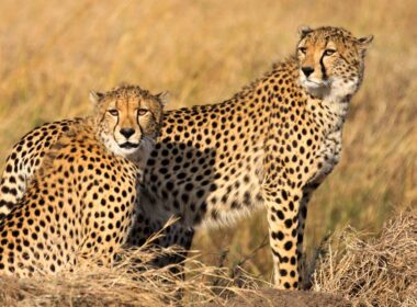 Cheetahs in African plains.