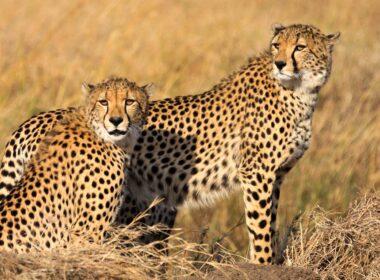Cheetahs in African plains.