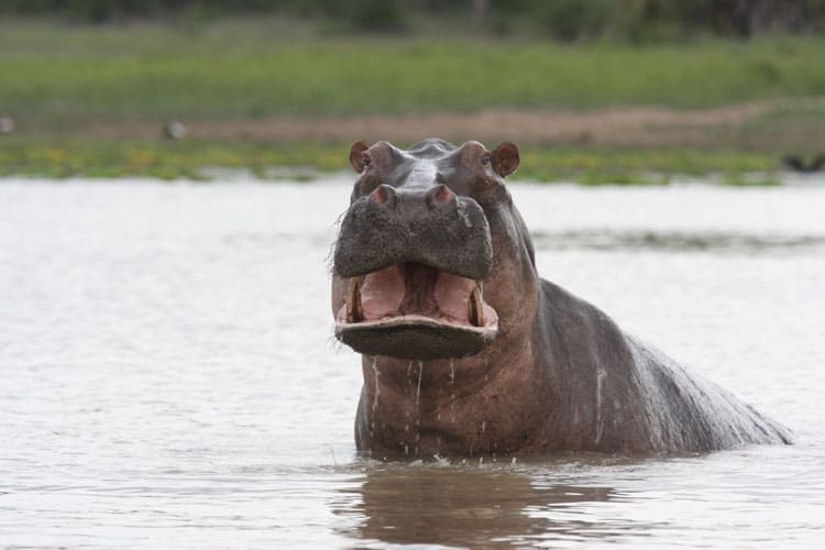 Hippo in the water in Africa.