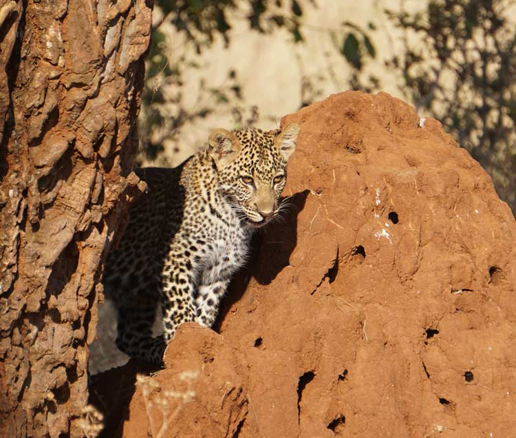 Leopard cub among the rocks.