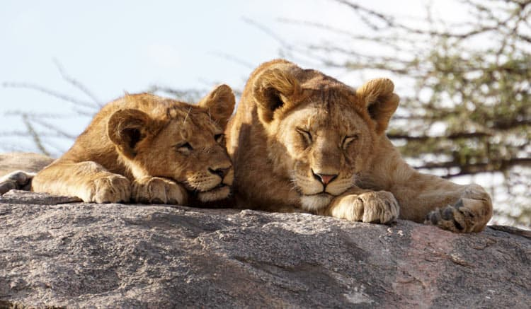 Sunbathing on rock in Africa.