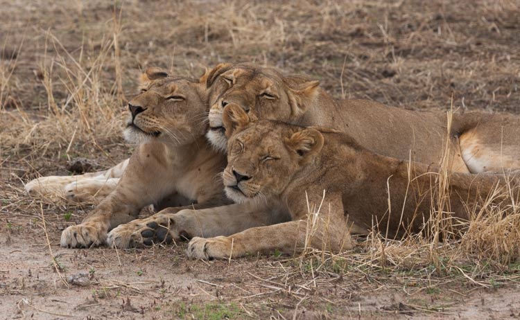 Lions love to nap.