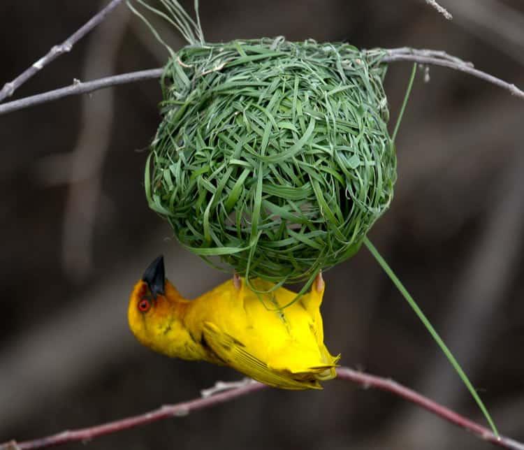 African Weaver bird building a nest.