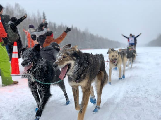 Sled dogs finishing race
