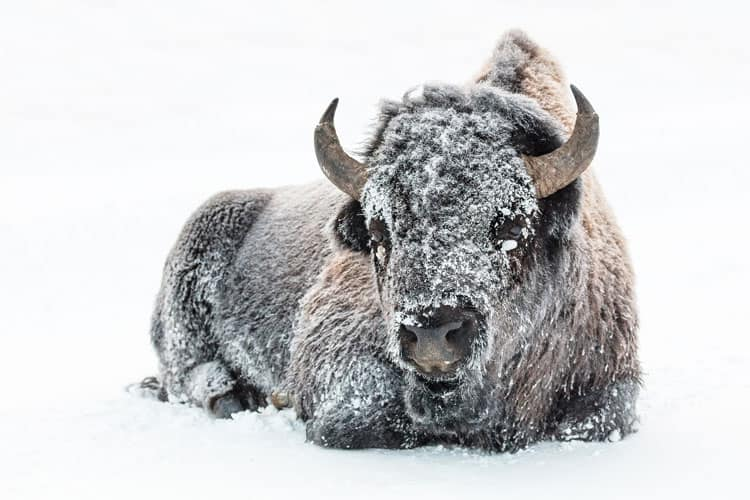 Bison relaxing in snow in Yellowstone Park, Wyoming
