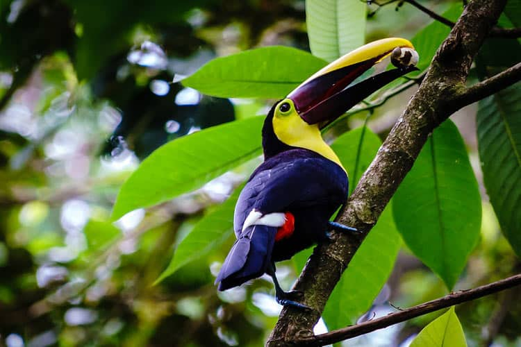 Toucan with a nut